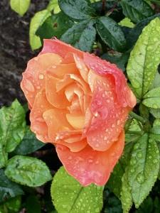 Chippenham Rose
